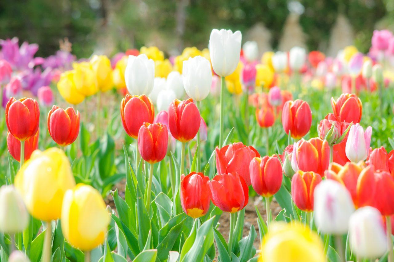 メイン写真:チューリップのお花で花絵をつくろう!(にいがた花絵プロジェクトinゆいぽーと)