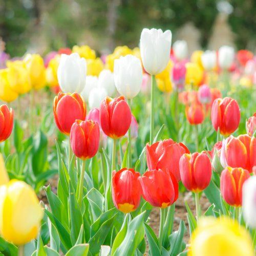 チューリップのお花で花絵をつくろう!(にいがた花絵プロジェクトinゆいぽーと)